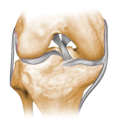 Normal Knee Ligaments